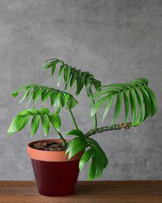 Indoor Shade Plants, Indoor Tropical Plants, Indoor Plant Pots, Outdoor Plants, Potted Plants, Tropical Outdoor Decor, Tropical Landscaping, Inside Plants, Cool Plants