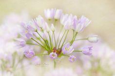 macro | Sweet Allium | by JackyParker |... - Euphoria