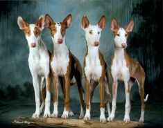 """Ibizan Hound Standards Recognition AKC (Hound) FCI (Group 5) KC (Hound) UKC (Sighthound and Pariahs) Height/Weight 22-29"""" 45-55 lbs Appearance large, primitive hound ears are large and triangular, very mobile, erect tail is long, reaches at least the hock, may be carried in a sickle, ring, or saber position two coat varieties: short and smooth or wirehaired Color red red and white white white and red"""