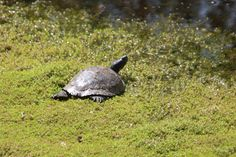 Pond Life, Turtle, Animals, Turtles, Animales, Animaux, Tortoise, Animal, Animais