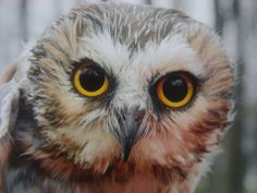 Saw-whet Owl Up Close Photo Greeting Card