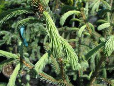 Rich's Foxwillow Pines Nursery, Inc. - Picea engelmannii – 'Blue Magoo'Engelmann Spruce