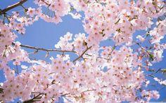 Blossomed Cherry Tree Wallpaper