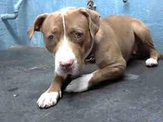 FINAL MOMENTS.   Sweet and gentle, Bella. She is confused and scared. She's not sure why her family brought her here. DIES IN THE MORNING. Lancaster shelter, CA.   Impound No: A4569548  Impound Date: 4/28/2013  Sex: Female  Primary Breed: PIT BULL  Age: 3 Years, 10 Months  Location: Lancaster  Cage No.: L228 —