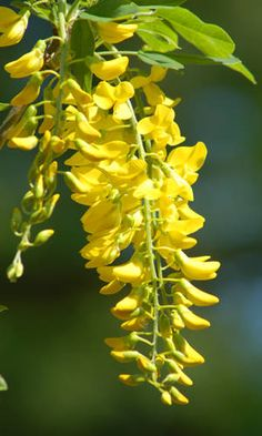 Flowers of golden chain tree (Laburnum).