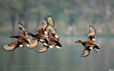 Envol de Canards chipeau / united flight of Gadwalls