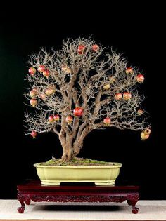 Punica granatum, by Bonsai do. With the black background, this tree looks awesome!