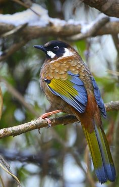Black-faced Laughingthrush (Trochalopteron affine). A bird of the Eastern Himalayas. photo: Rajiv Lather.