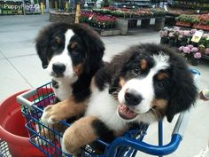 Bernese Mountain Dog Pictures (fh8n99455d8)