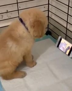 Cute Baby Dogs, Cute Funny Dogs, Cute Funny Animals, Cute Babies, Chien Golden Retriever, Labrador Retriever Dog, Golden Retrievers, Kittens And Puppies, Cute Dogs And Puppies