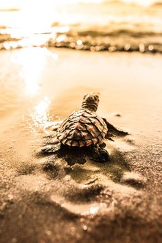 "A Turtle Hatchling:  ""Where have all my others buddies disappeared to?!"""