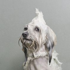 These are amazingly adorable: Portraits of Wet Dogs by Sophie Gamand - Dog Milk Pet Photography Tips, Animal Photography, Photography Awards, Photography Series, Photography Projects, Funny Dogs, Funny Animals, Cute Animals, I Love Dogs