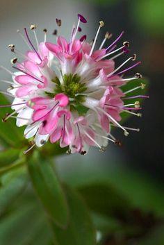 Delicate Hebe Flower