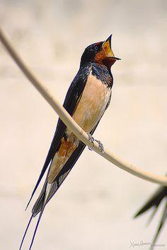Barn Swallow (Hirundo rustica) For More like └▶ Paradise of birds Kinds Of Birds, Love Birds, Beautiful Birds, Barn Swallow, Mundo Animal, Wild Birds, Bird Watching, Bird Feathers, Bird Houses