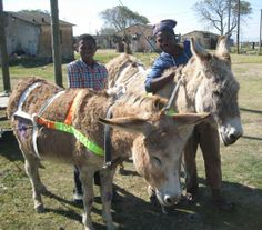 At a recent Grahamstown Donkey Clinic, Atingose was most anxious for new harnessing for Big 6 and Wolsak. They got a deworm as well!     Courtesy: Eastern Cape Horse Care Unit, Port Elizabeth (Republic of South Africa).