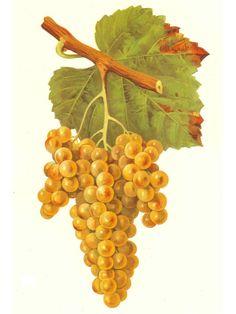 Petit Manseng - Wine Grapes - Wikipedia, the free encyclopedia
