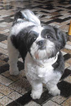 http://puppydogweb.com/gallery/shihtzus/shihtzu_bringlier.jpg