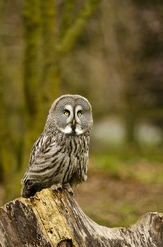 Great Grey Owl | Flickr - Photo Sharing!