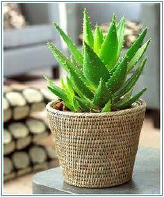 Aloe plant, please.