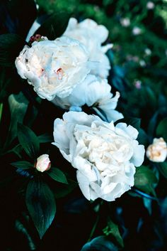High on the Monaro Plains, a couple turned a hectare of their windswept property into an enchanting cold-climate garden. Cold Climate Gardening, White Peonies, White Gardens, Peony, Bloom, Rose, Flowers, Plants, Photography