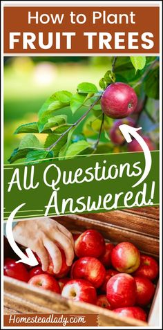 How to, Where to, Best time to Plant a Fruit Tree l Information on companion plants for fruit trees, beneficial insects and backyard permaculture orchards l Homesteadlady.com #permaculture #fruittrees #backyardorchard #homesteading #apples Fall Vegetables, Growing Vegetables, Planting Raised Garden Beds, Tree Planting, Gardening For Beginners, Gardening Tips, Growing Herbs, Growing Tomatoes, Beneficial Insects