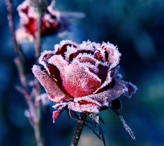 an ice adorned rose  blooms a summer memory  to warm winter's heart