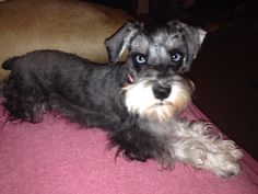 Misty Our beautiful blue eyed Mini Schnauzer