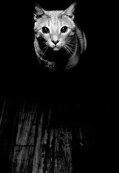 Black and White Cat photograph  fine art print by GrayTabbyCat, $12.00
