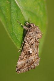 Vlindernet: ni-uil (Trichoplusia ni) - meer lezen over deze soort