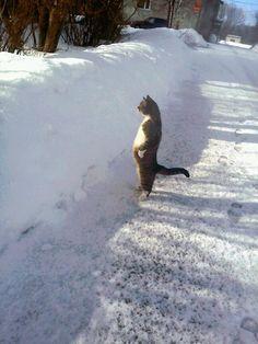 Cat considers snow.