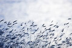 A sea of grass in Gotland surges across this wallpaper in shades of blue, inspiring calm and clarity - Scandinavian Light | R12971 | Wall murals - Wallpaper | Rebel Walls