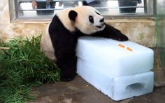 Giant panda Wei Wei rests on a block of ice to beat the heat at the zoo in Wuhan, China