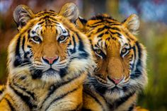 Coupla Tigers by Alan Shapiro on 500px