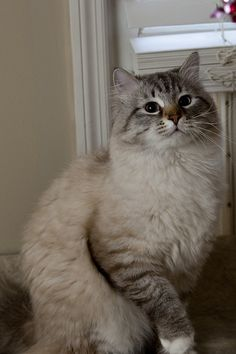 the Daddy of my Russian Siberian Cat.