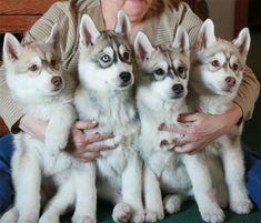 I want a huskey puppy!!!!