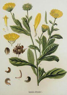 O Botânico Aprendiz na Terra dos Espantos: Ilustrações botânicas* (I)**