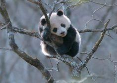 panda on tree Panda Bebe, Cute Panda, Animal Pictures, Cute Pictures, Animals And Pets, Cute Animals, Mundo Animal, Animal Photography, Animals Beautiful