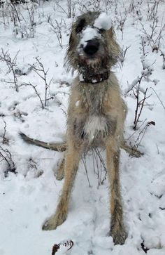 Arwyn the Irish Wolfhound | Daily Puppy I love these dogs!!