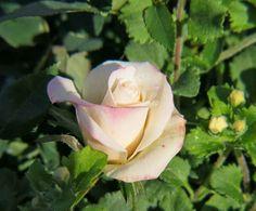 White Parade Rose - 3/23/13 Rose, Garden, Nature, Flowers, Plants, Pink, Garten, Naturaleza, Lawn And Garden