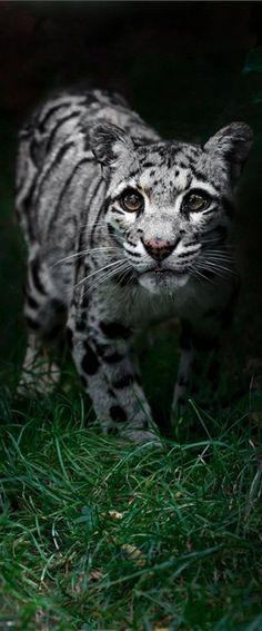 Clouded Leopard (by Sue Demetriou on 500px)