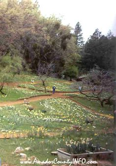 Daffodil Hill in Volcano CA Northern California in Amador County USA United States of America Travel and Tourism #daffodils #flower #flowers http://www.AmadorCountyINFO.com