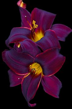 Burgundy Daylily Celebration - by Kathy Clark