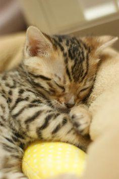 【萌え死注意】可愛いヒョウ柄の猫 ベンガル子猫(画像) - NAVER まとめ