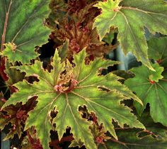Begonia Jagged Edge