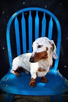 Very unique double dapple dachshund. An idea as the perfect beautiful platform for vitiligo. He's beautiful! Love him! #acceptance #seeme