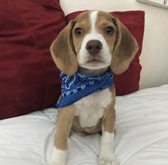 Chocolate beagle