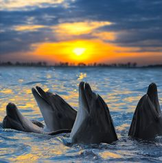 The bottle-nosed dolphins in sunset