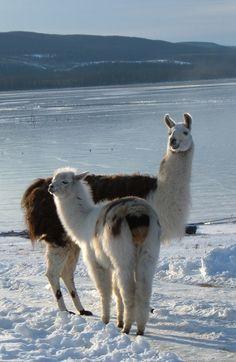 Llamas overlooking the frozen Ootsa Lake, British Columbia Lovely Creatures, All Gods Creatures, Alpacas, Reptiles, Mammals, Farm Animals, Cute Animals, Llama Llama, Ostriches