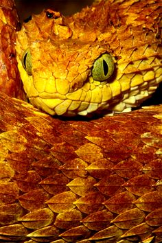 #viper #snake #reptile