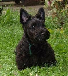 I have always wanted a Scottish Terrier since i was a little girl. My grandparents had one named pepper. Loved her!